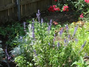 salvia and Eutin Roses