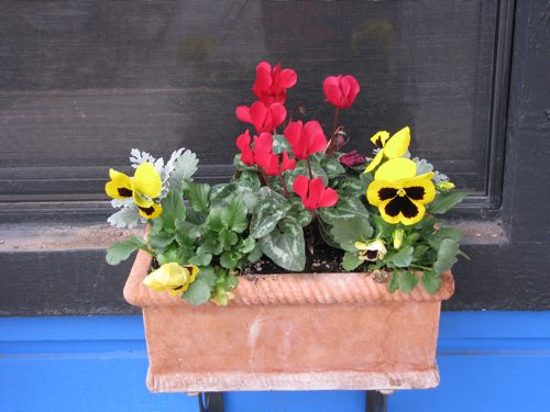 We are enjoying the window boxes on our backyard patio. These were planted mid-December with cyclamen, monkey-faced pansies, and dusty miller. We enjoy them through the windows while we're inside. The plants are all cold hardy, so I don't have to cover them on cold nights.