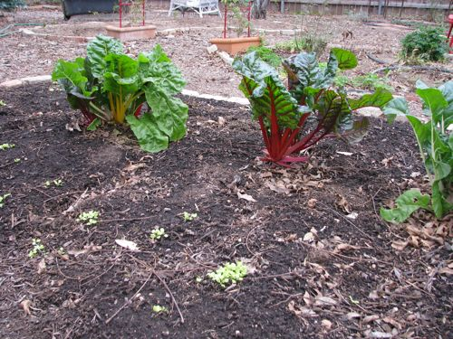 Swiss Chard tastes great in potato soup. These plants were harvested yesterday, so they aren't as full as they'll be in a week. The sprouts in front are lettuce planted in December.