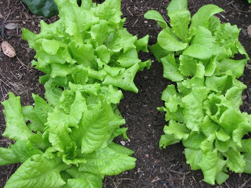 I'm giving away lettuce to neighbors. We can't eat it all.