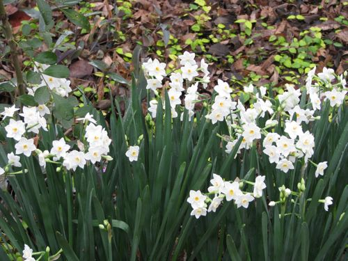 Paperwhites came with the house. They bloom every year without me doing a thing to them.