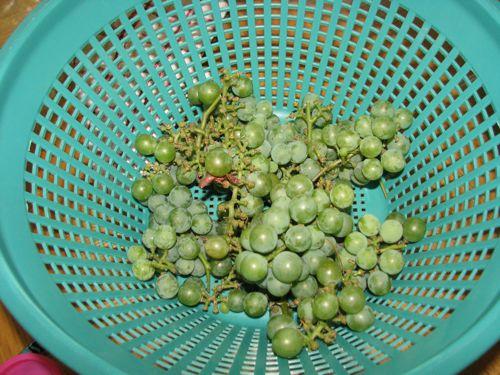 grapeharvest2