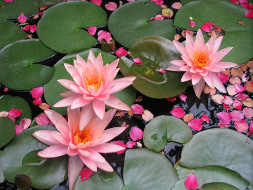 My water lilies before the invasion.